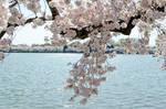 Cherry Blossom Festival 19