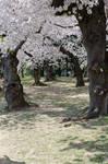 Cherry Blossom Festival 21