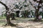 Cherry Blossom Festival 27