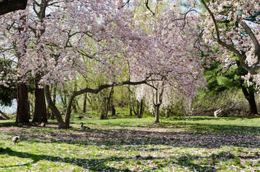 Cherry Blossom of Philly 03 by FairieGoodMother