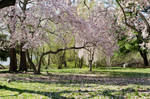 Cherry Blossom of Philly 03