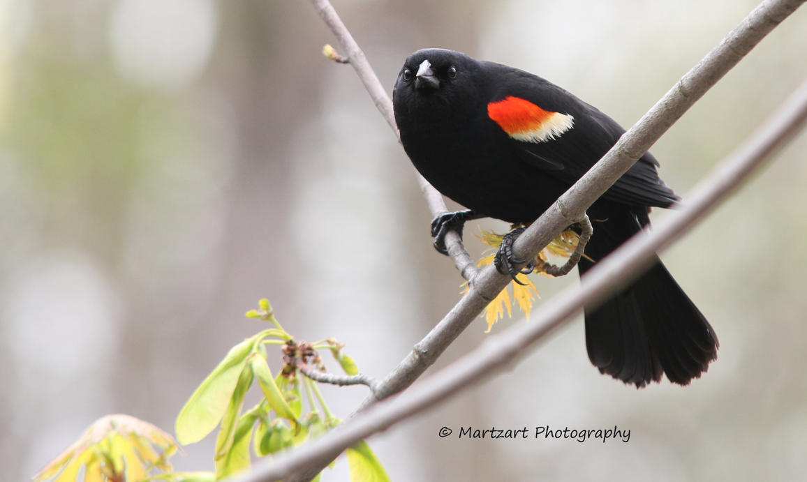 Red-winged Blackbird - May2,12 by Martzart