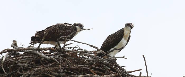 Wild Osprey nesting, Ontario Canada Aug 14 2016