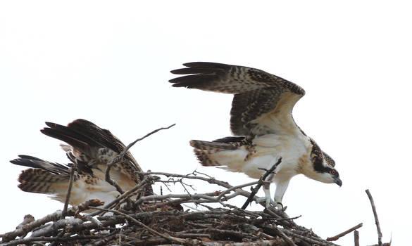 Wild Osprey, Ontario Canada, Aug 14 2016