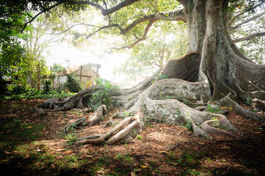 Old Petrie Town Fig Tree #1