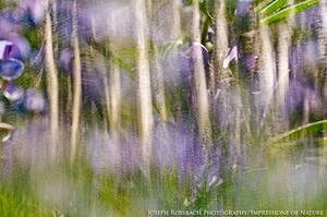 Aspen and Lupine Abstract by joerossbach