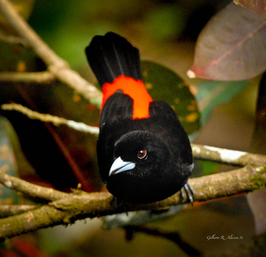 Cherrie's Tanager, Costa Rica