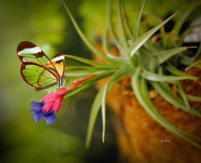 Glasswing Butterfly, Costa Rica