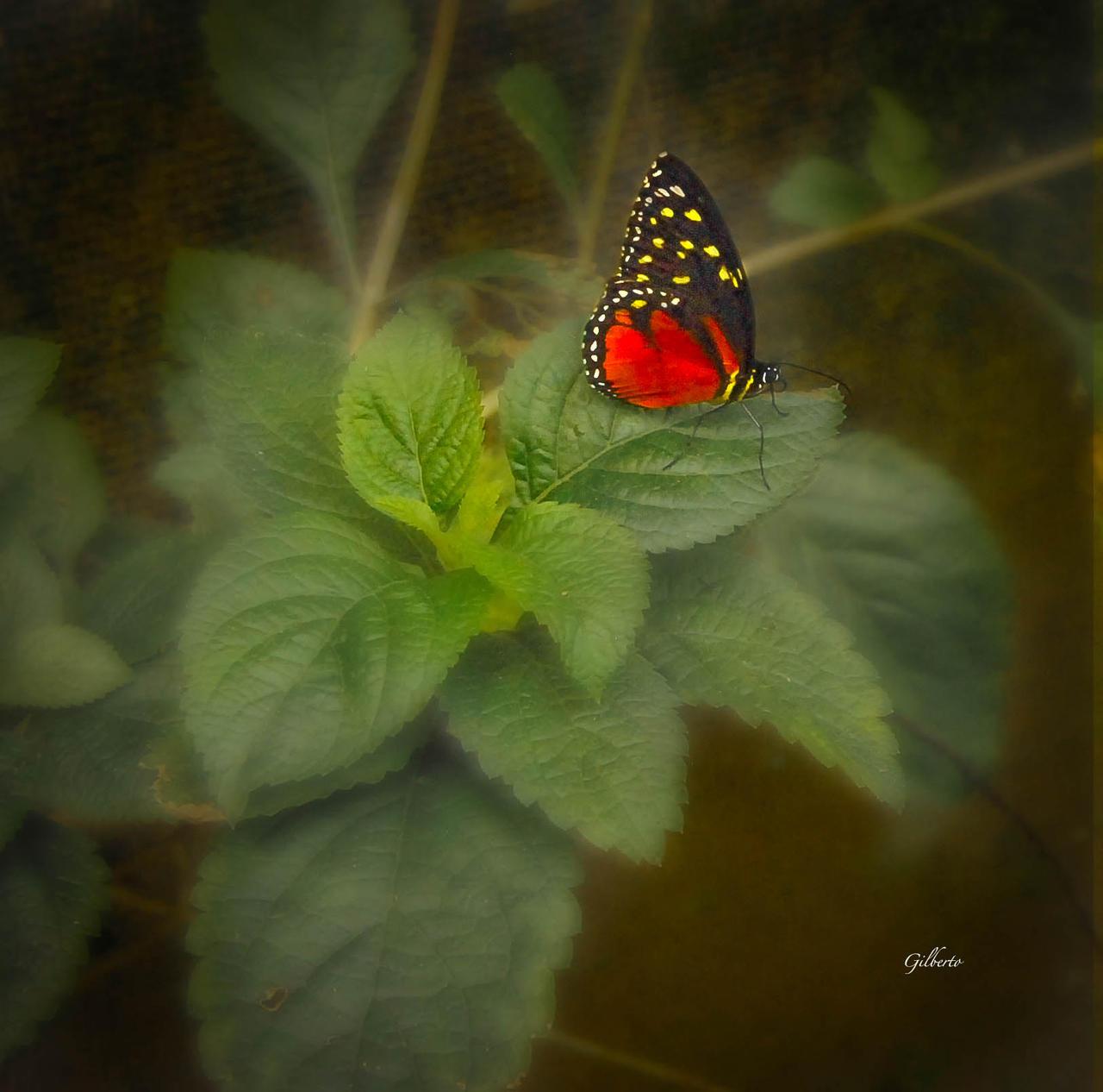 Melinaea Messatis Butterfly, Costa Rica
