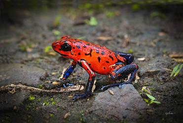 Strawberry poison-dart frog, Costa Rica by Gilberto694277