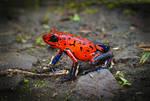 Strawberry poison-dart frog, Costa Rica