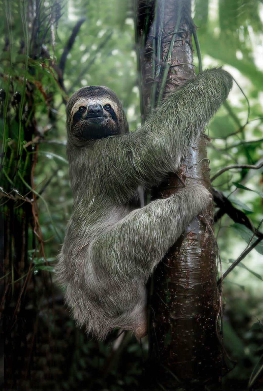 Three toe sloth, Costa Rica