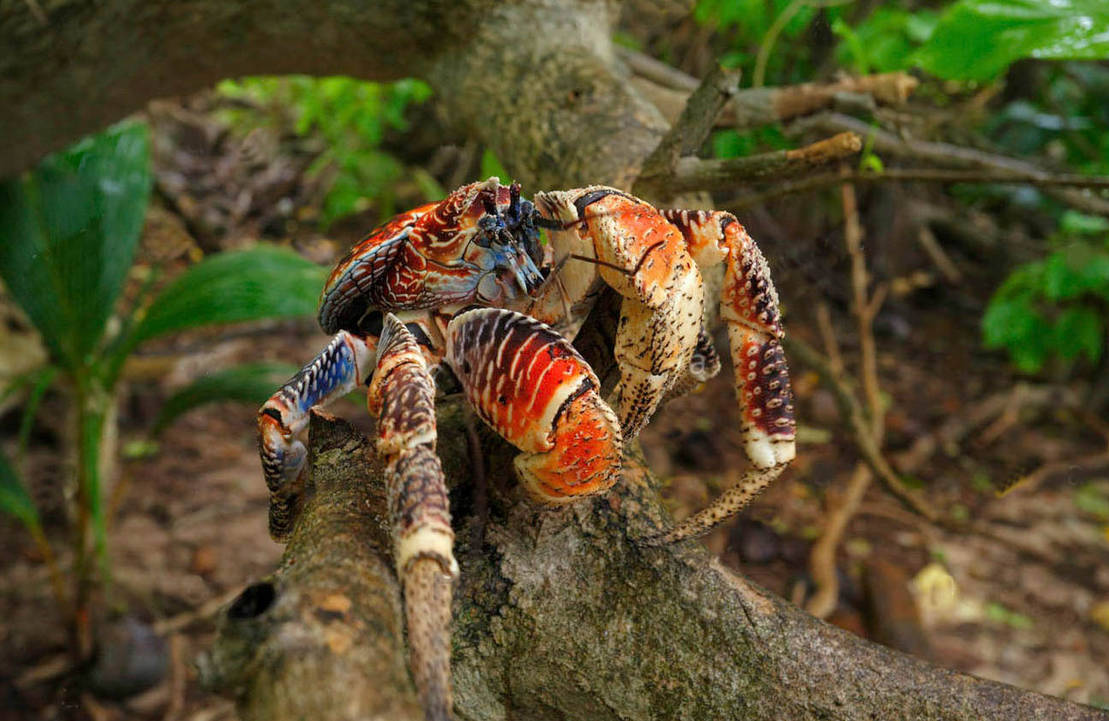 Coconut crab, Polynesie Francaise