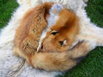 Red Fox Pelt - Miette