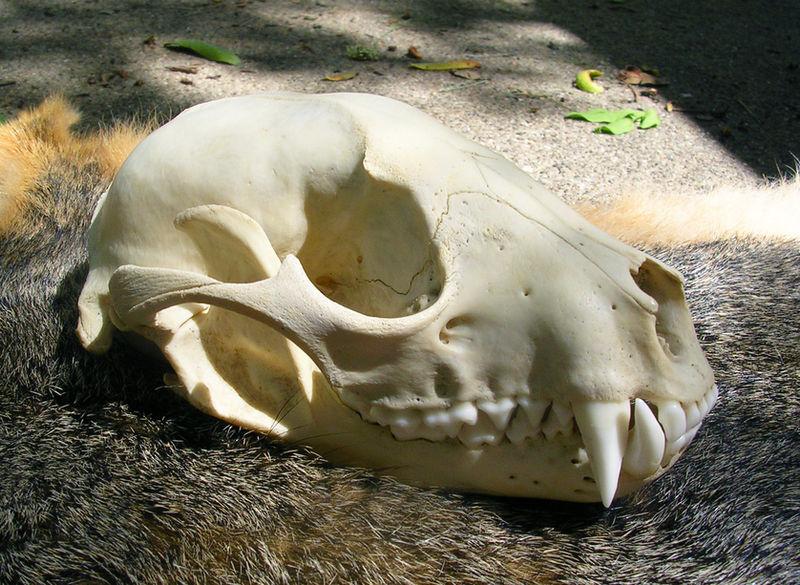 Happy Raccoon Skull by FossilFeather on DeviantArt