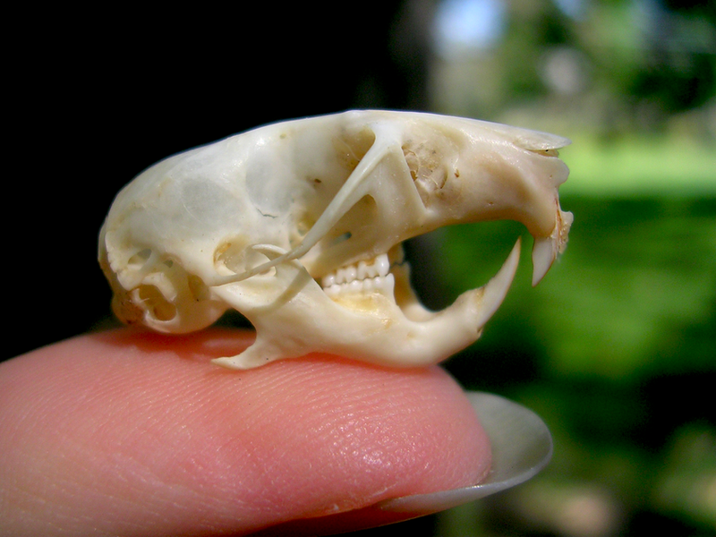 Dwarf Hamster Skull by FossilFeather