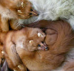 Brotherly Love - Pine Martens