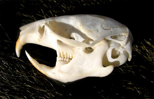 Vole Skeleton Head Vole Skull by FossilFeather