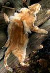 Marmalade Tabby Cat Pelt