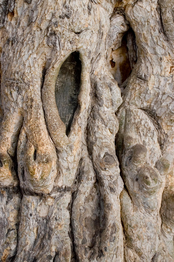 Ancient Tree - Cyprus by Polstar-Stock
