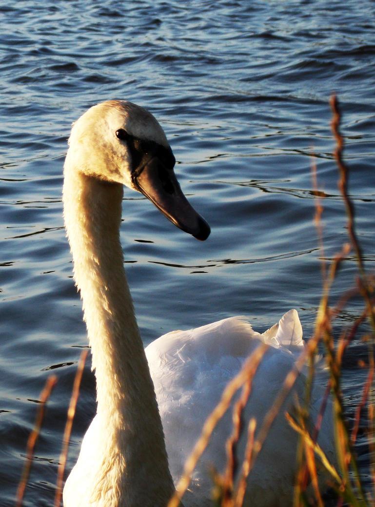 Swan by charlottina