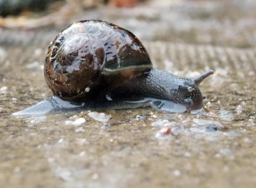 Snail by charlottina