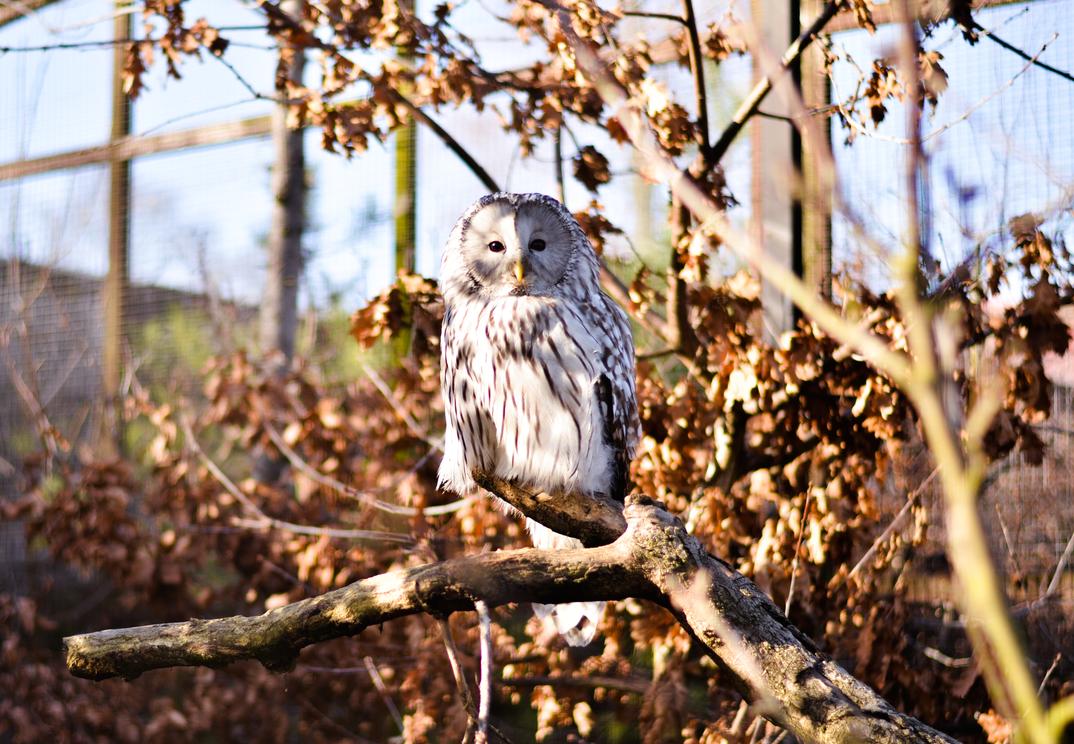 Beautiful Owl by charlottina