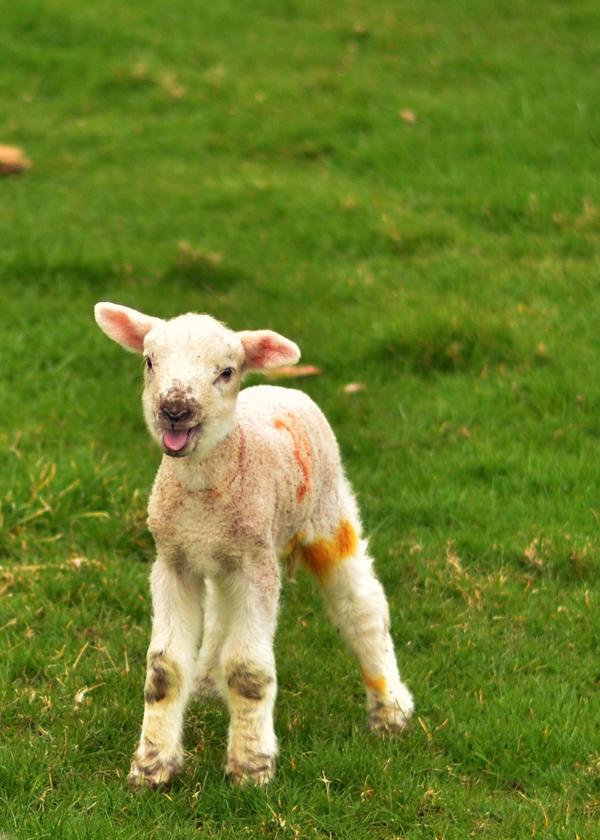 Spring Lamb by charlottina