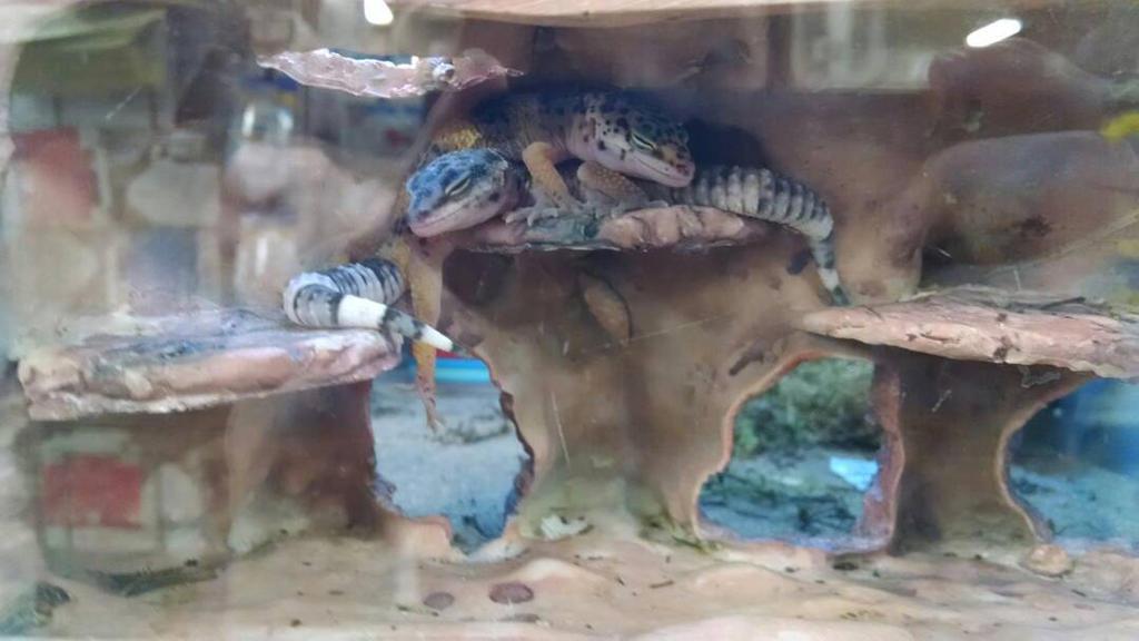 Sleeping Geckos by SilentxInsanityx