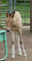 Foal Stock 1