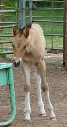Foal Stock 1 by gotonzay-stock