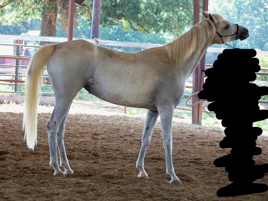 Arabian 7 by gotonzay-stock