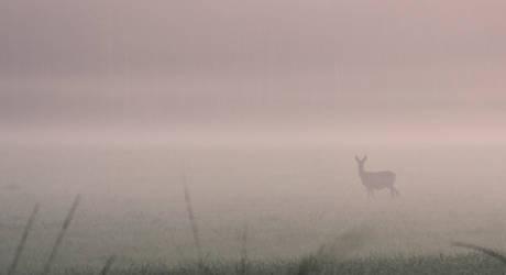 Deer in fog