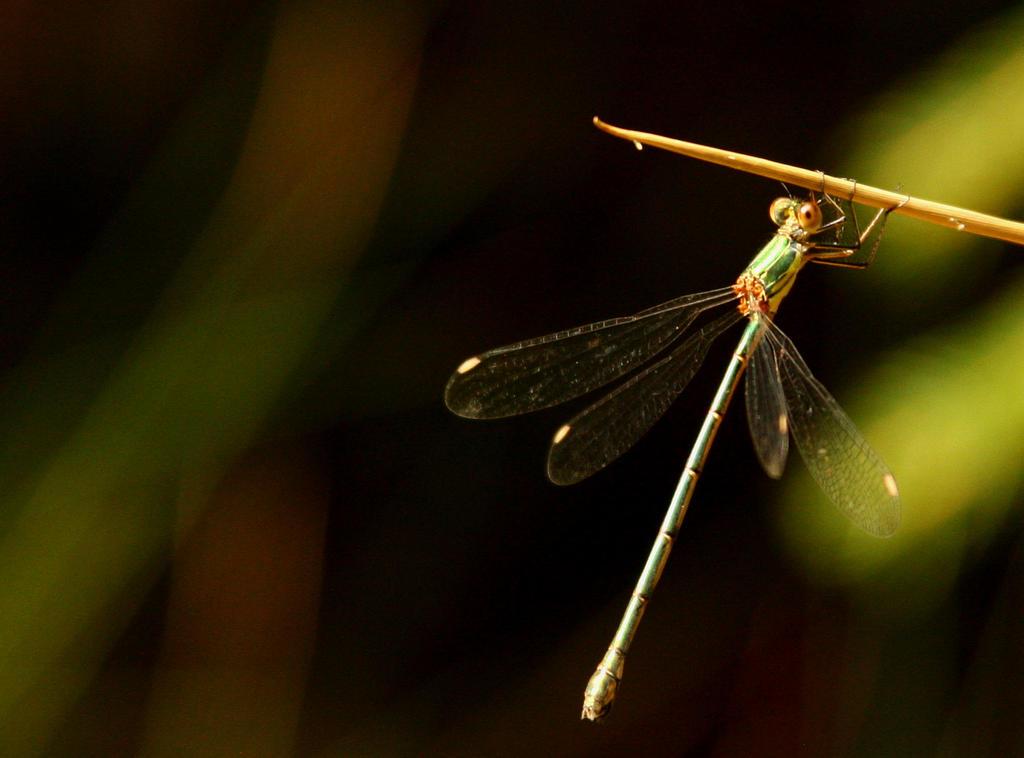 Dragonfly by Drummyralf