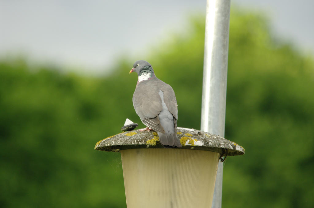 A Random Pigeon by Niall-Donnelly