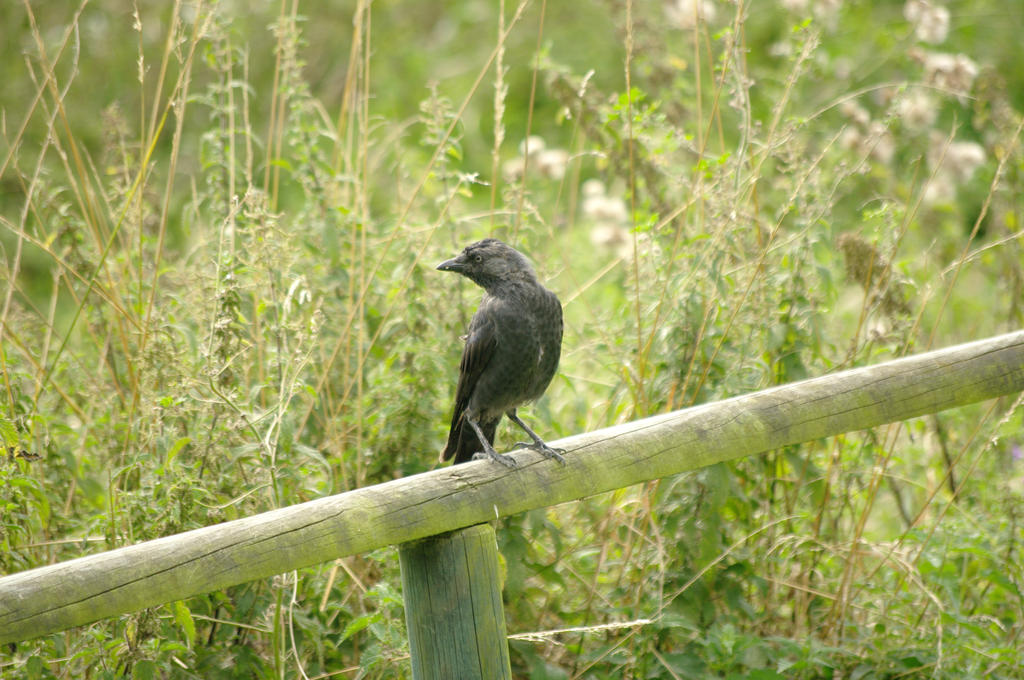 Jackdaw by Niall-Donnelly
