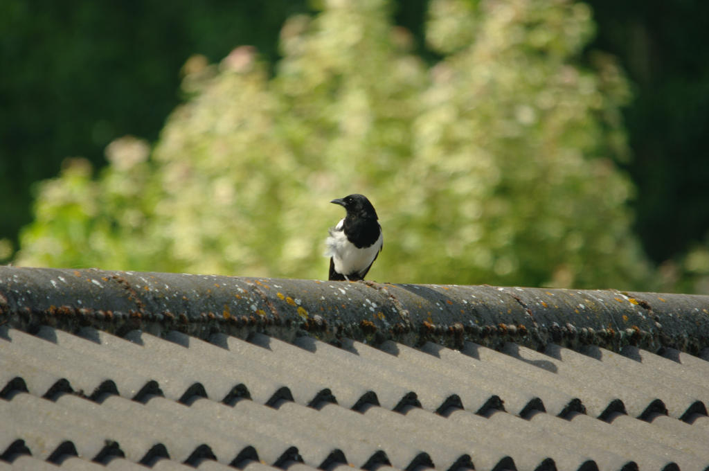 Magpie by Niall-Donnelly