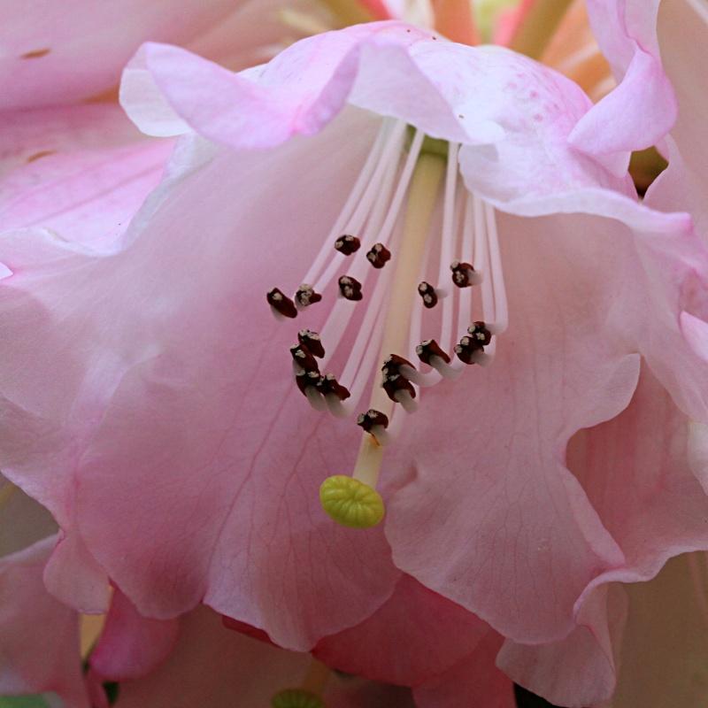 Pink Organza by Ratabago
