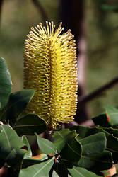 Desert Banksia by Ratabago