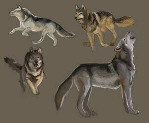 wolf studies by Canoda