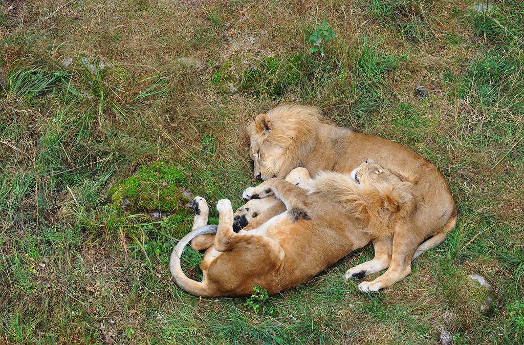 Lion And Lioness Cuddling