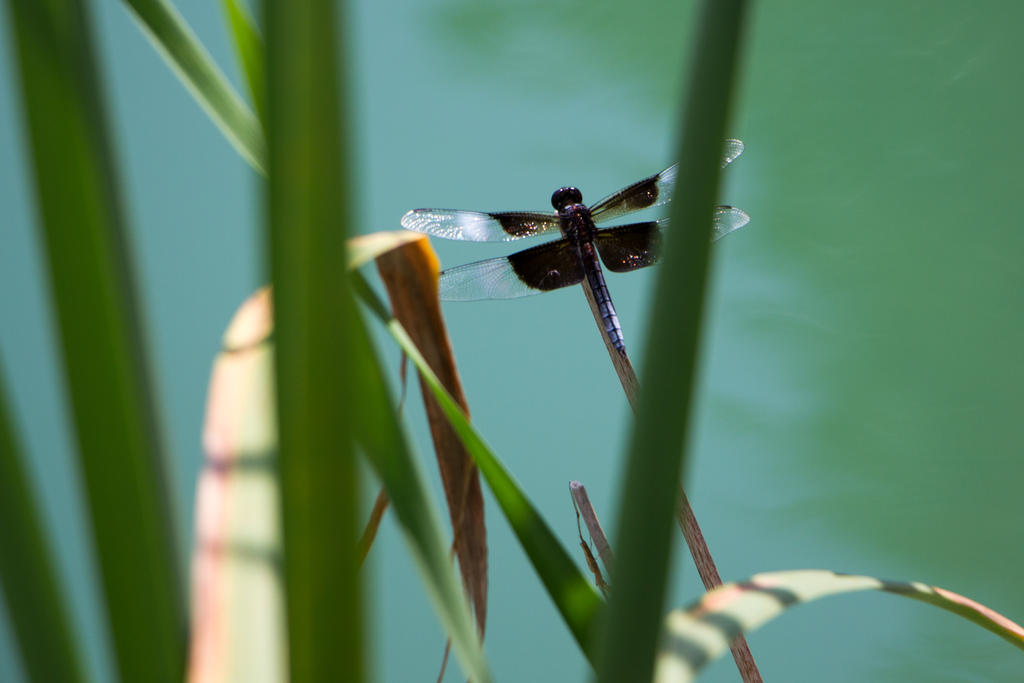 Dragonfly by MMoreland