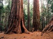 giants tree