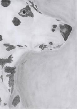 Dalmatian - 17-08-2011 -