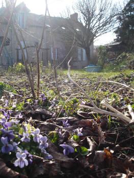 Violets (1)