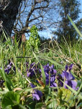 Violets (2)