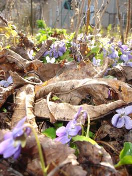 Violets (3)