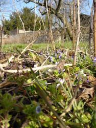 Violets (4)