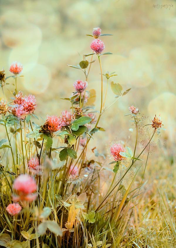 clover by Anti-Pati-ya