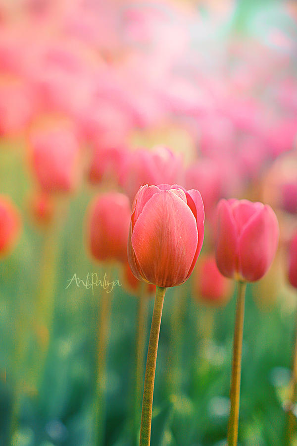 pink tulips by Anti-Pati-ya